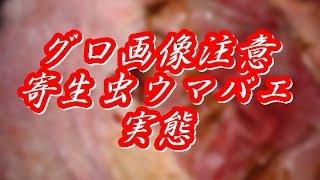 getlinkyoutube.com-【閲覧注意】「寄生虫」ウマバエは人間も標的になる!南米旅行は行かない方がよさそうだ