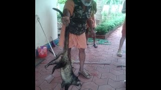 getlinkyoutube.com-COMMON PALM CIVET(TODDY CAT) CAUGHT BY SNAKE CATCHERS IN KERALA