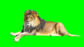 getlinkyoutube.com-Real lion isolated on green screen