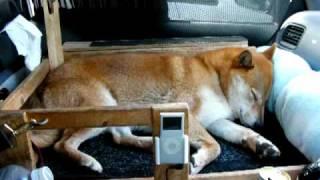 getlinkyoutube.com-愛犬と車中泊 柴犬ジロー