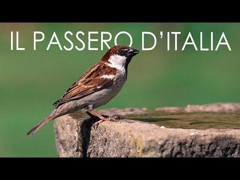 Il Passero d'Italia (Passer italiae)