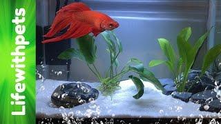 getlinkyoutube.com-How to set up a Betta fish tank (Basic planted Betta tank)