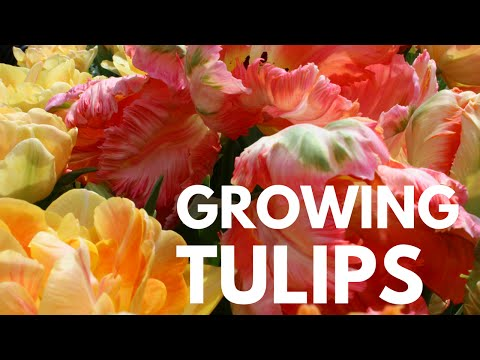How to Grow/Plant Tulips for Spring Blooms - Ornamental Gardening Basics