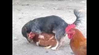 getlinkyoutube.com-Chicken fucker dog