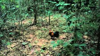 ต่อไก่ป่า 2016 (3)