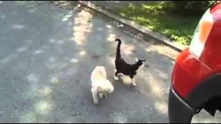 getlinkyoutube.com-คู่ซี้ ! แมวช่วยนำทางหมาตาบอด