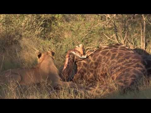 Sound of the African Bushveld,Lion - AFRICAN WILDLIFE