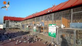 getlinkyoutube.com-5th Training Toss 10 km Racing Pigeons Derby Cordoba 15.07.2014