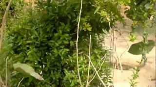 getlinkyoutube.com-أشجار الرمان المثمرة - Gulf Plants