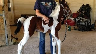 getlinkyoutube.com-Baby horses running and a zebra - cute! See TXMFT.com for your own!