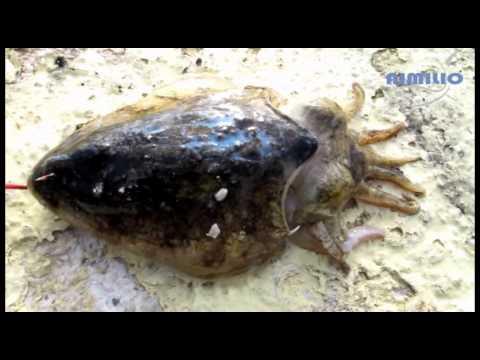 ΑΡΜΑΤΩΣΙΑ ΓΙΑ ΖΩΝΤΑΝΗ ΣΟΥΠΙΑ (I baited live cuttlefish)