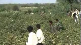 getlinkyoutube.com-Quail Hunting in Sindh Pakistan