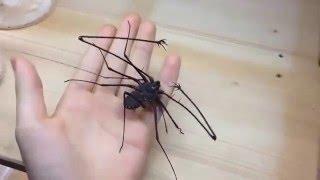 getlinkyoutube.com-Amblypygi   Tailess whip Scorpion