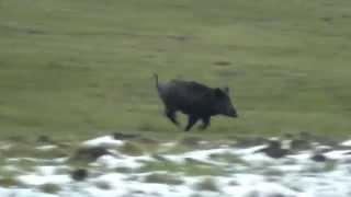 getlinkyoutube.com-Wild Boar Trailing Febr  2015
