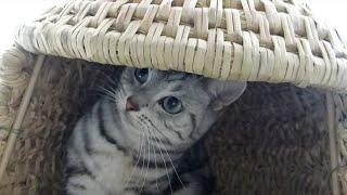 getlinkyoutube.com-誕生日プレゼント眠っている猫の枕元に置いてみたら…ついに完成(^o^)/母ちゃん大作! 猫ちぐら -Happy 4th Birthday! Straw house with Cat