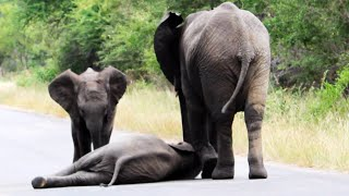 getlinkyoutube.com-Herd of Elephants Help an Elephant Calf After Collapsing in the Road