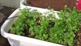 getlinkyoutube.com-My  Organic Terrace Garden