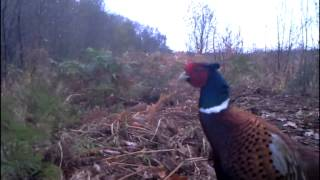 getlinkyoutube.com-Astley Moss Mammal Trapping Nov 2014
