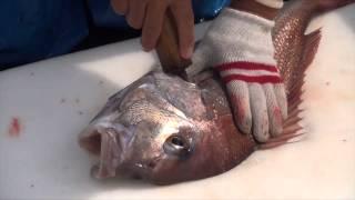漁師の技、マダイの神経絞め
