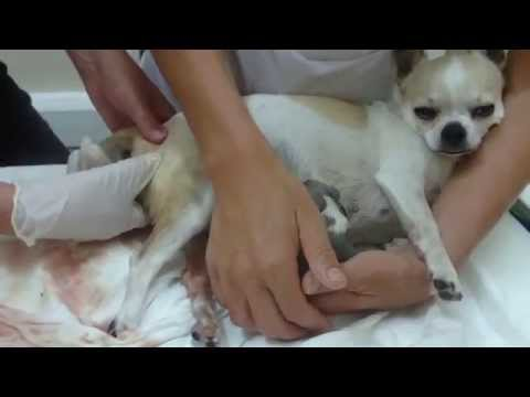 Chihuahua Gives Birth To A Beautiful Puppy Boy