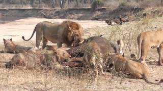 Two male lions fight following buffalo kill