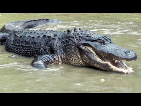 Python vs Alligator 04 -- Real Fight -- Python attacks Alligator