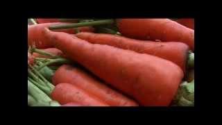 การปลูกแครอท