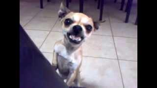 getlinkyoutube.com-Perro exorcista se enoja cuando lo insultas con voz de elmo