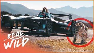 Drag Race: Formula E Car VS Cheetah [Technology Vs Wildlife Documentary]   Wild Things