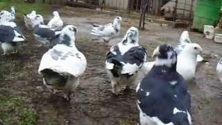 getlinkyoutube.com-porumbei americani baltati ialomita 2015