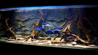 getlinkyoutube.com-BLUE LUXURY AQUARIUM Malawi Haplochromines