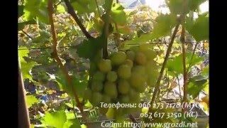 getlinkyoutube.com-Сорт винограда Синдикат