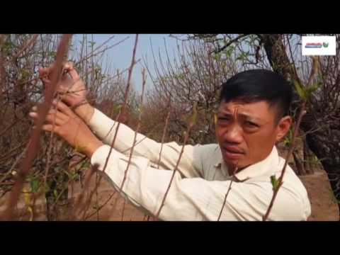 Nguy cơ mất mùa Đào Nhật Tân
