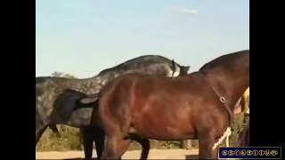 Horse mating - Animals mating and human - Horse mating 2015 Horse breeding