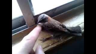 getlinkyoutube.com-como atrapar pájaros sin trampas ni nada