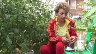 Обрезаем нижние листья у томатов Бурая пятнистость томатов