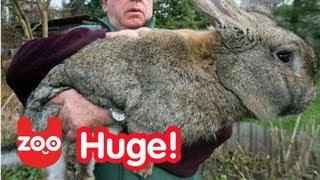 Really BIG Bunny