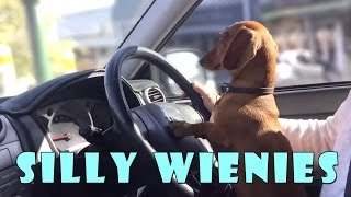 getlinkyoutube.com-Silly wiener dogs COMPILATION - cute and funny dachshund videos