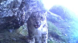 A stunning snow leopard mother with her two cubs in the Himalayas