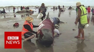 New Zealand volunteers in race to rescue hundreds of whales - BBC News