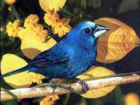 azulão femea e macho 100%  puro
