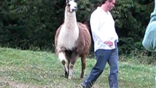 getlinkyoutube.com-Funny Llama Attack!!