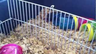 getlinkyoutube.com-Mommy Hamster Steals Baby Hamster from Another's Litter