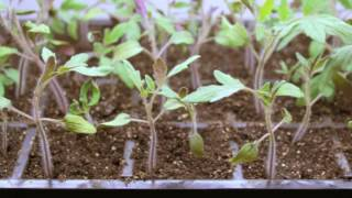 Step by Step: Growing Tomatoes from Seed