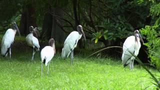 getlinkyoutube.com-FLORIDA BIRDS JULY 2014 SONY FDR-AX1 4K 60p