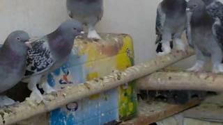getlinkyoutube.com-2طيورالازرك المسكي قلاب للبيع Turkey Tumbler Pigeons FOR SALE