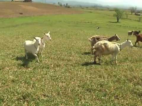 Genética ajuda produção de leite de cabra em Resende