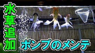 getlinkyoutube.com-新・金魚水槽 ⑥水草追加などなど 【アクアリウム】