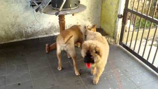 getlinkyoutube.com-PITBULL X CHOW CHOW (JULY X THOR)