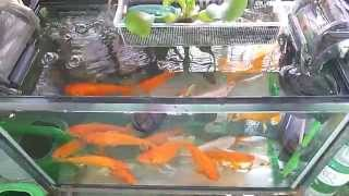 長生き金魚60センチ水槽(昼)